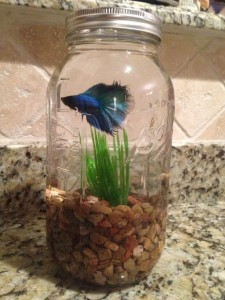 Glass Jars of Betta Fish